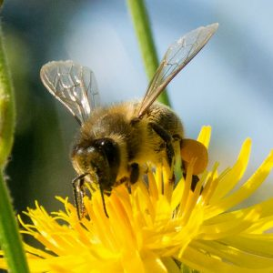 different-types-of-honey-bees-300x300